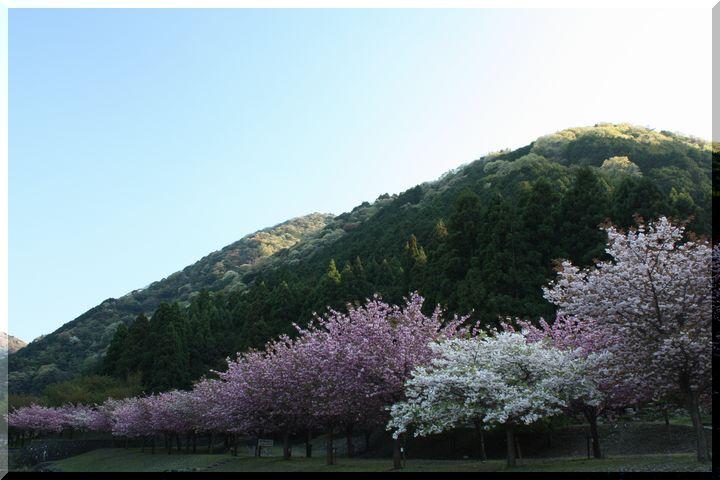 羽根谷 八重桜14