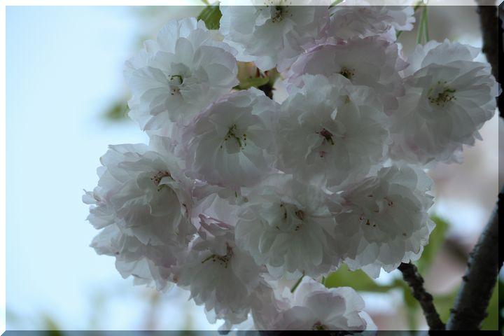 羽根谷 八重桜16