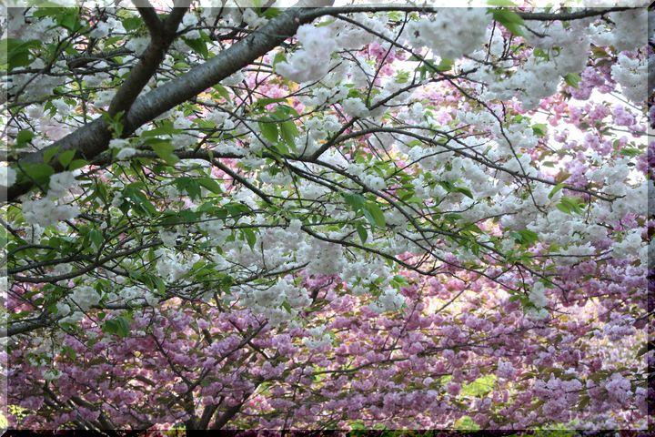 ~ 羽根谷 八重桜13