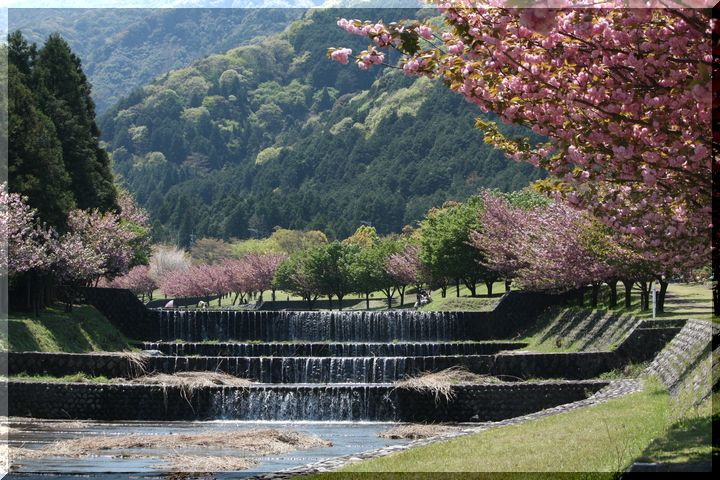 羽根谷 八重桜2