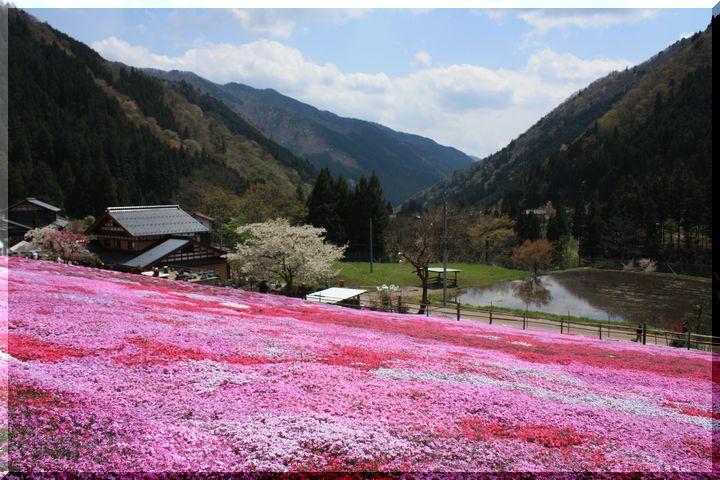 ~ 郡上芝桜1