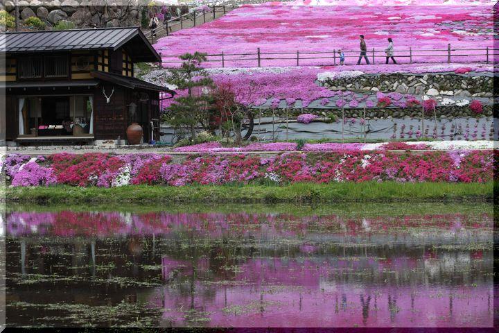~ 郡上芝桜2