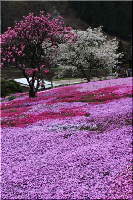~ 郡上芝桜7