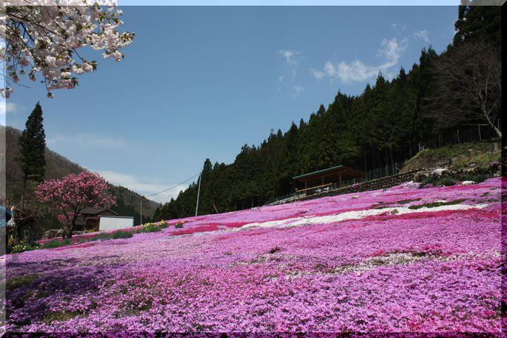 ~ 郡上芝桜8