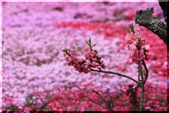~ 郡上芝桜9