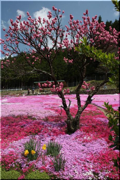~ 水仙と芝桜4