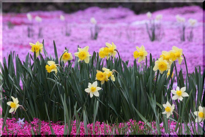 水仙と芝桜 2