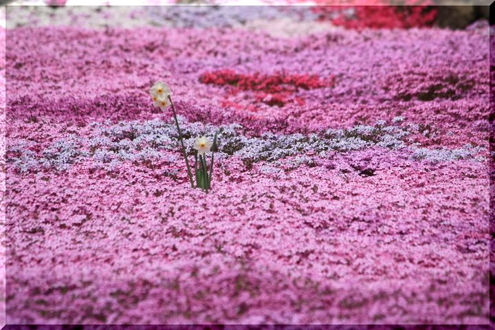 水仙と芝桜3