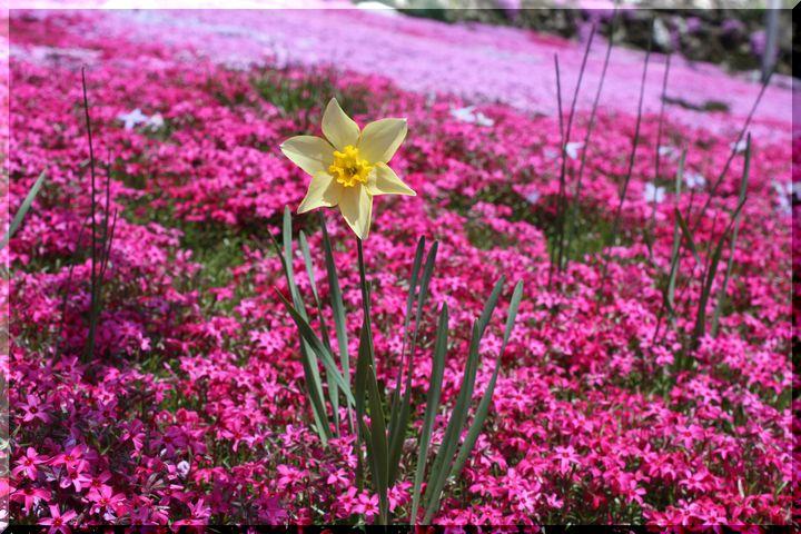 水仙と芝桜6