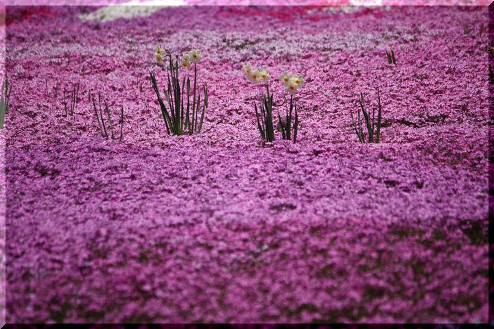水仙と芝桜7