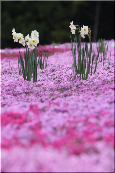 水仙と芝桜9