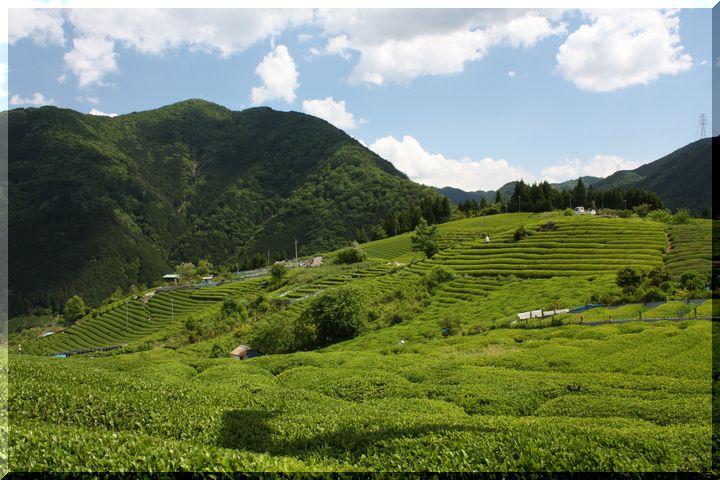 ~ 天空の茶畑1