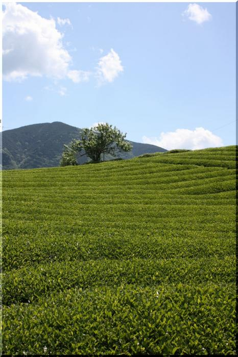 ~ 天空の茶畑3