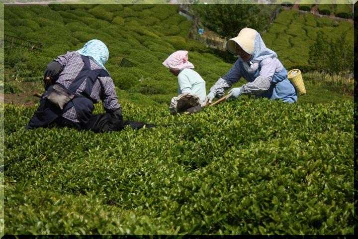 ~ 天空の茶畑4