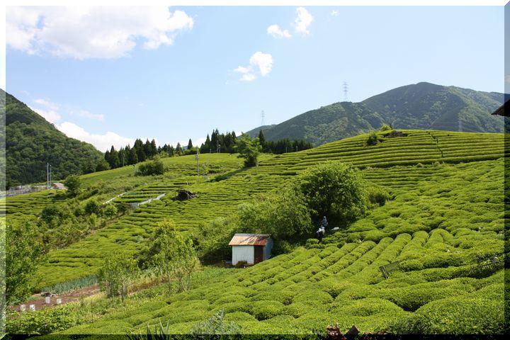 ~ 天空の茶畑5