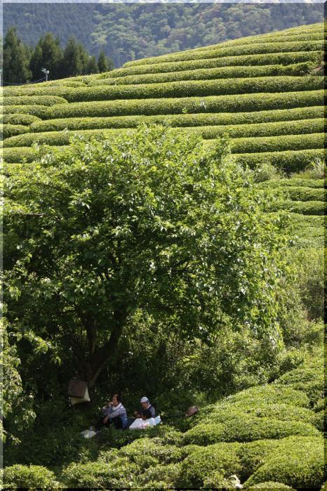 ~ 天空の茶畑6