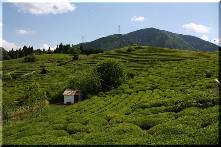 ~ 天空の茶畑7