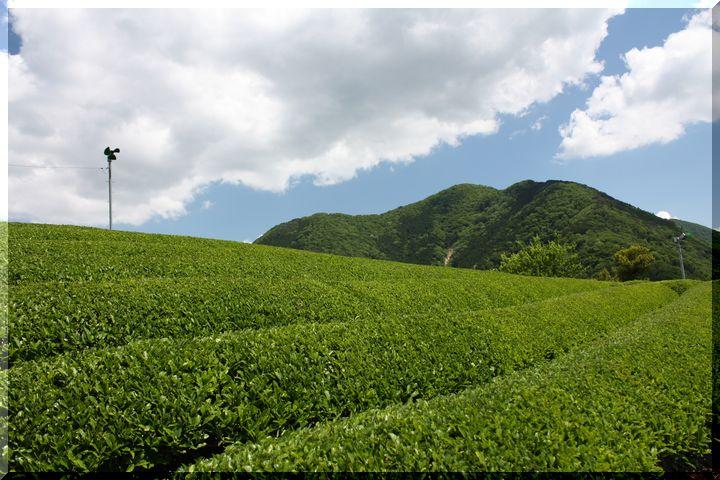 ~ 天空の茶畑9