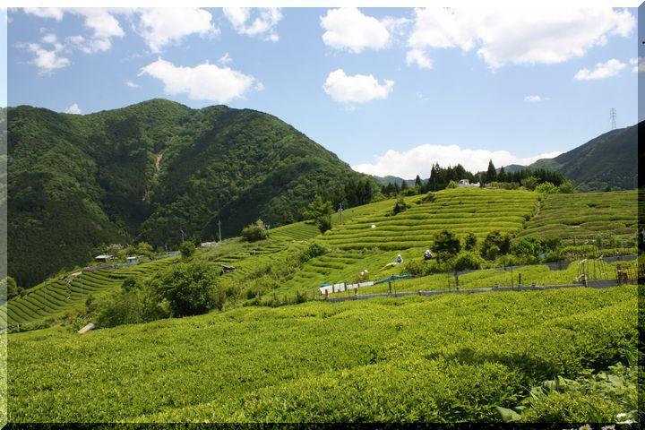 ~ 天空の茶畑11