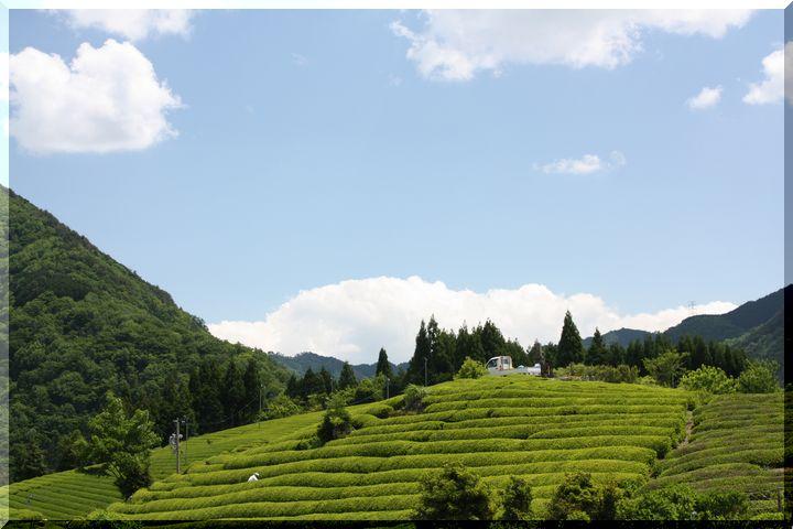 ~ 天空の茶畑12