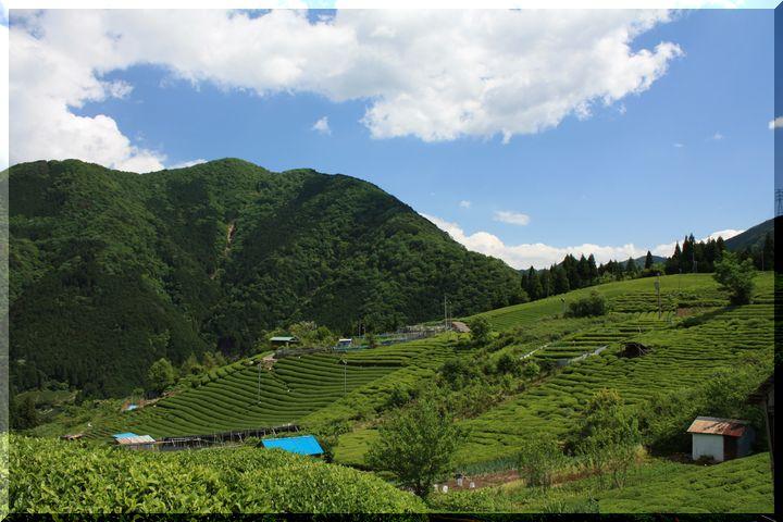 ~ 天空の茶畑13