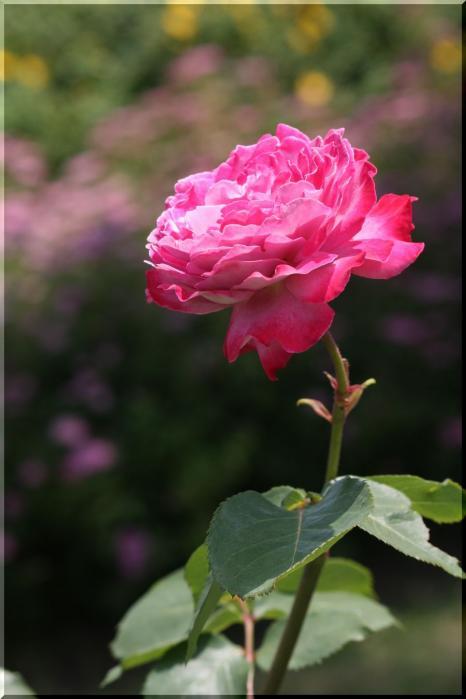 ~ 各務原薔薇1