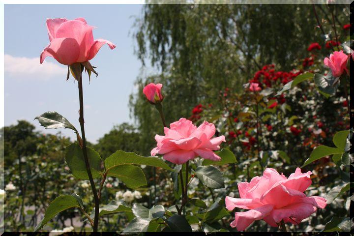 ~ 各務原薔薇5