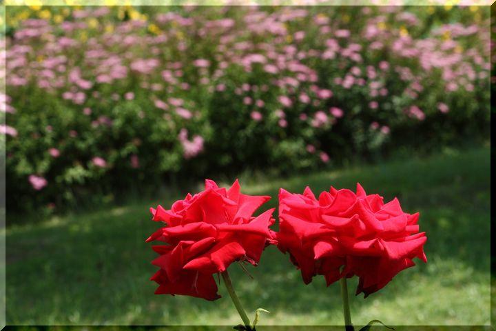 ~ 各務原薔薇9
