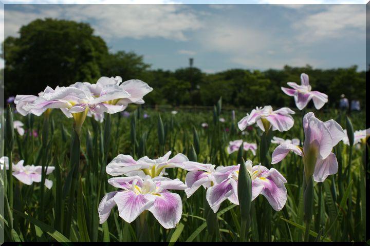 曽根城公園 菖蒲畑8