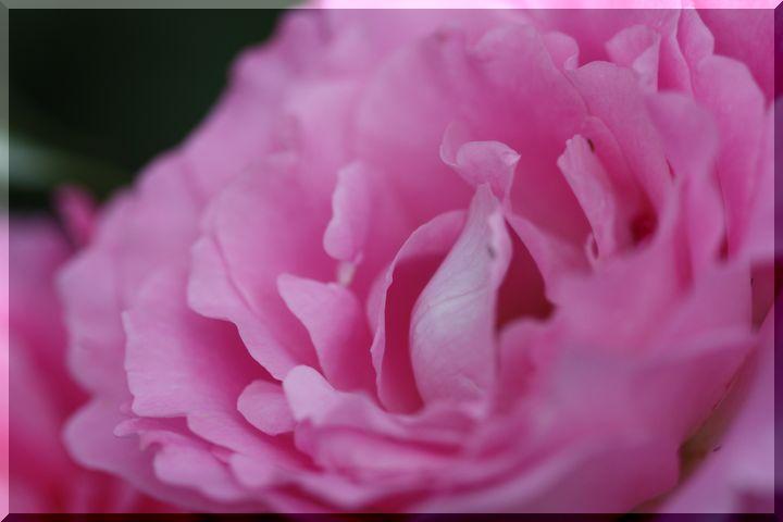 神戸町の薔薇2