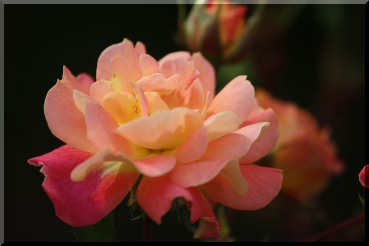神戸町の薔薇6