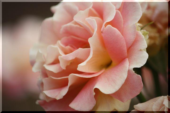 神戸町の薔薇8