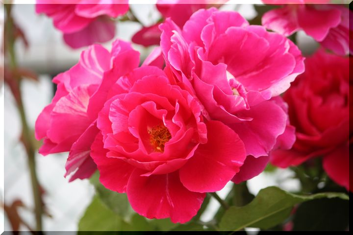 神戸町の薔薇10