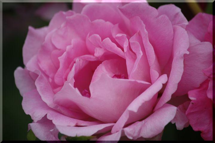 神戸町の薔薇14