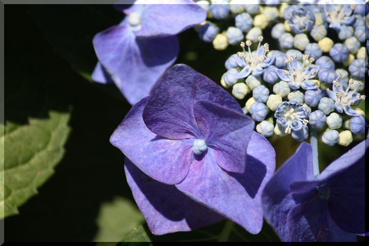 ~ 谷汲紫陽花1
