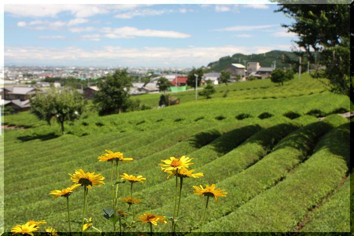 ~ 池田山茶畑6