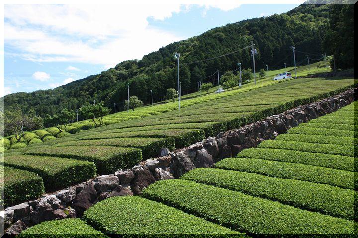 ~ 池田山茶畑7