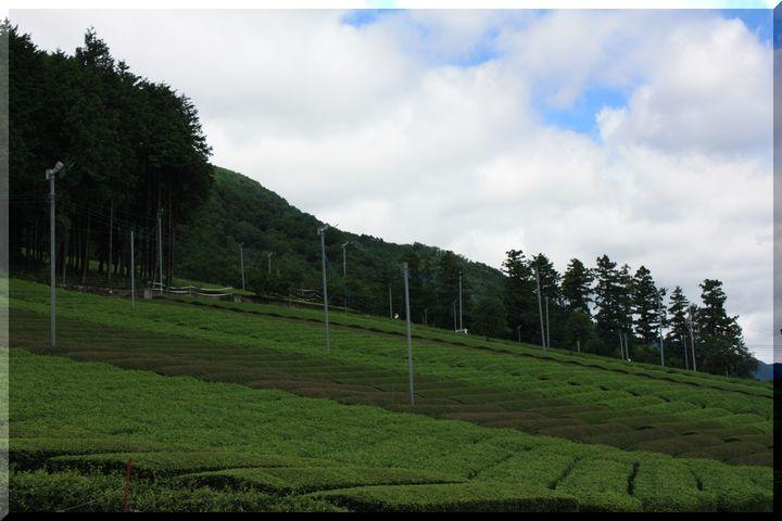 ~ 池田山茶畑13