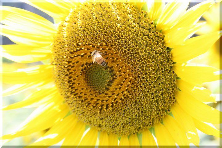 ~ ヒマワリと蜂1