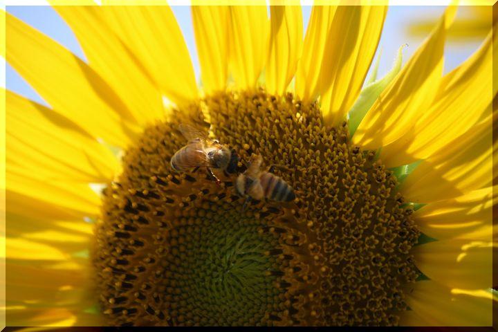 ~ ヒマワリと蜂3