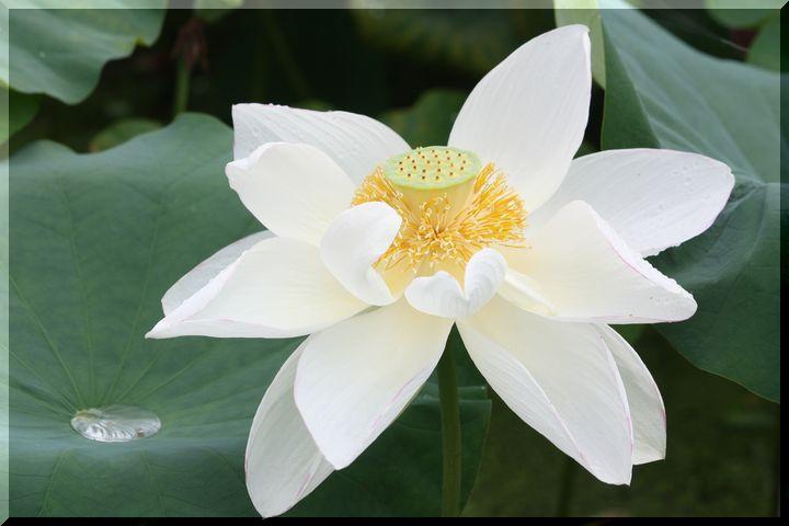 ~ 白い蓮3
