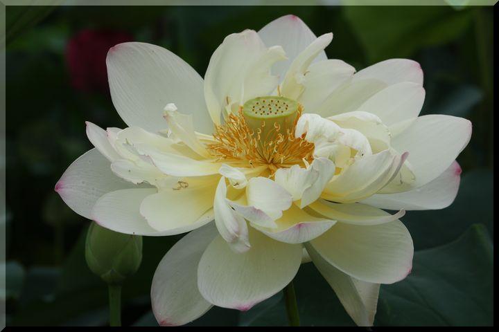 ~ 白い蓮6