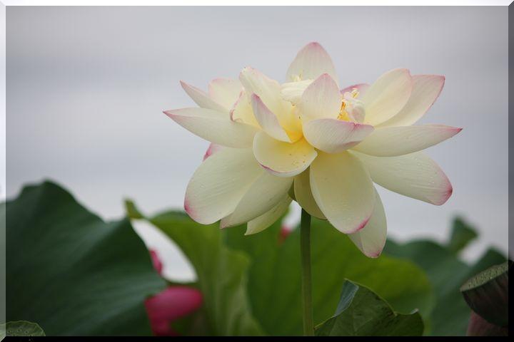 ~ 白い蓮8