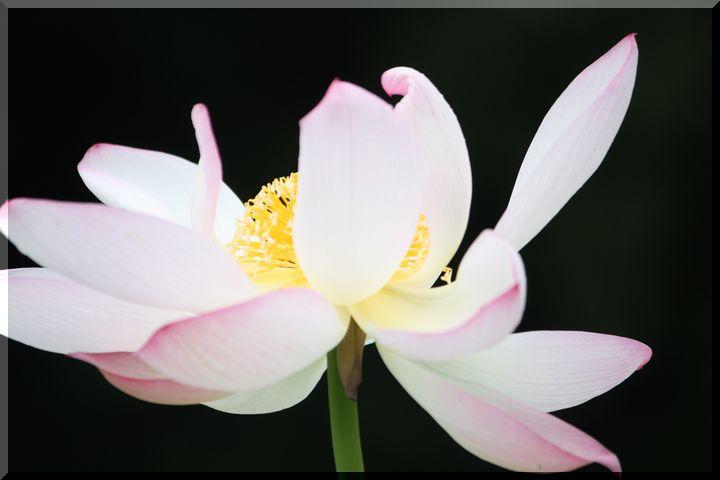 ~ ピンクの蓮2