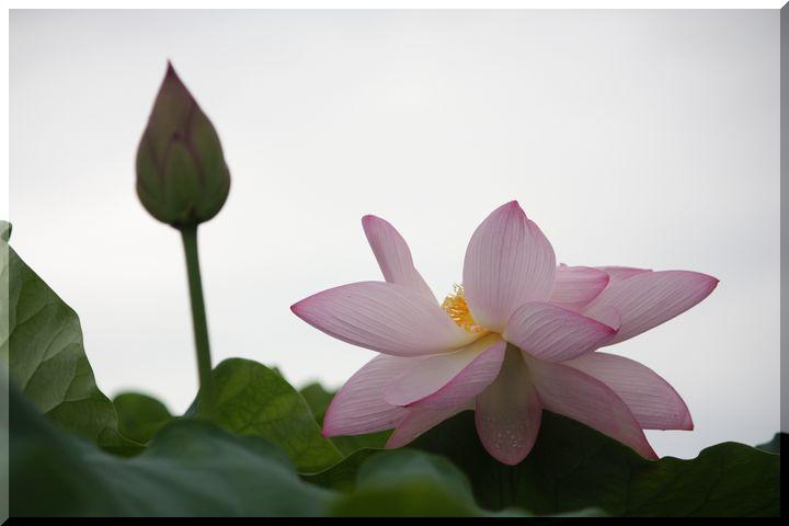 ~ ピンクの蓮5