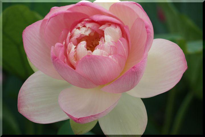 ~ ピンクの蓮6