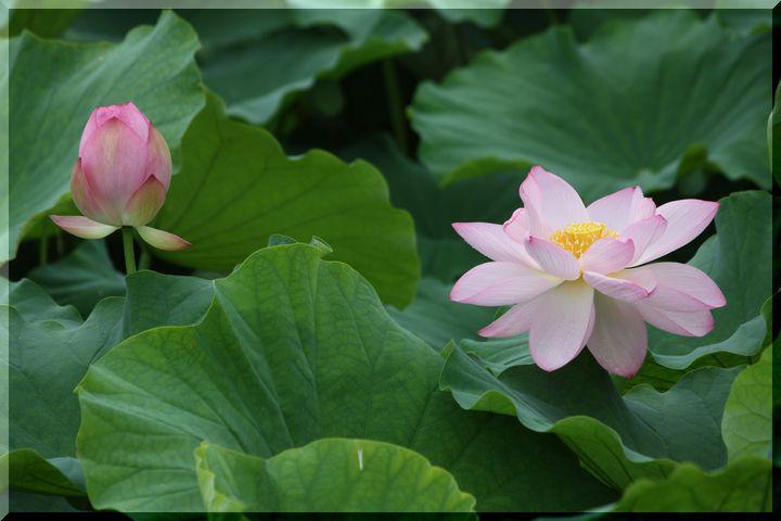 ~ ピンクの蓮7