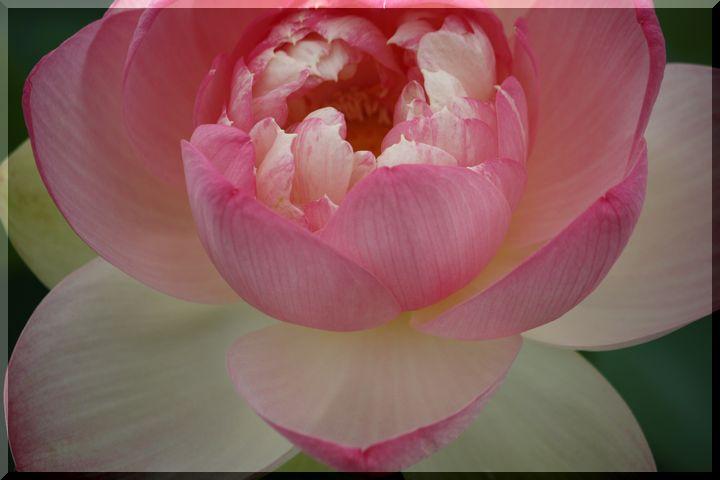 ~ ピンクの蓮10