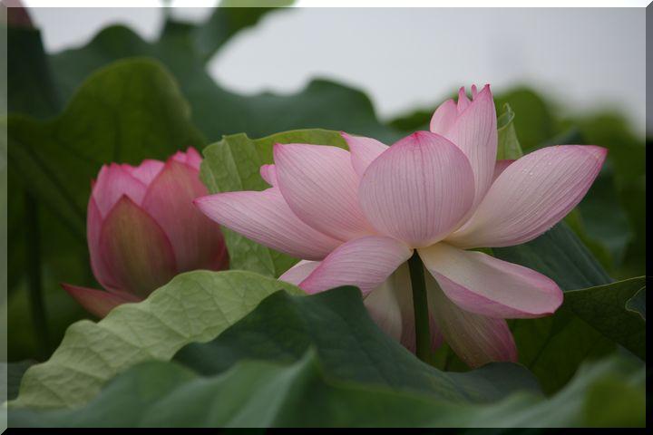 ~ ピンクの蓮12