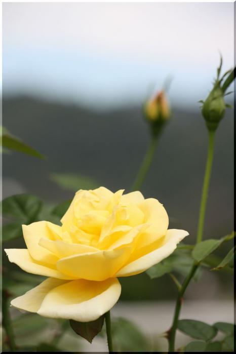 ~ 畜産センター薔薇1